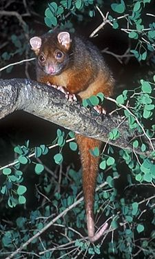 A description of the Common Ringtail Possum, Pseudocheirus peregrinus, with details of its distribution, habitat, habits and breeding. Unique Animals, Cute Little Animals, Nature Animals, Animals And Pets, Beautiful Creatures, Animals Beautiful, Australia Animals, Australian Birds, Wild Creatures