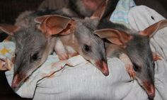"""Triplet bilbies. The first triplet bilbies to be born in captivity have emerged from their mother's pouch, giving hope to those working to save the iconic species from extinction. """"There are only 600 bilbies left in Queensland – now is our chance to save this iconic species before it's too late.  Just in time for an Austrailan #Easter #Bilby"""