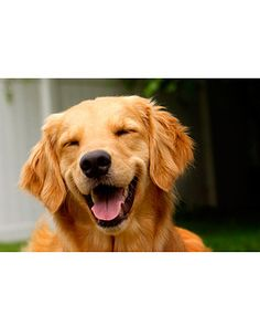 Dogs really do smile- especially Goldens!