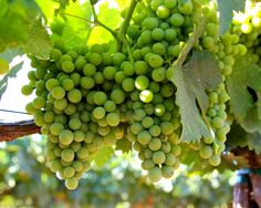 Piquepoul Blanc:  Acquiesce Vineyard; Mokelumne River AVA