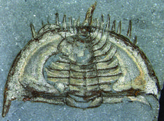 How Cute! Trilobites Curled Up in Self-Defense - by Tia Ghose for LiveScience [September 24, 2013] Trilobites, such as this Mummaspis muralensis, emerged during the Cambrian Period and went extinct more than 250 million years ago.