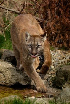 Prowling Puma by Animals Photography Big Cats, Cats And Kittens, Cute Cats, Wild Animals Pictures, Animal Pictures, Beautiful Cats, Animals Beautiful, Amazing Beasts, Animals And Pets