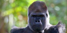 Rigo, Melbourne Zoo's gorilla, 1970 - 2013