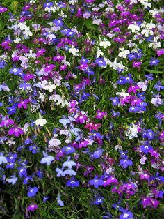 Spring is coming,I hope . Lobelia Flowers, Trailing Flowers, Exotic Flowers, Beautiful Flowers, Landscape Materials, Landscaping Supplies, Winter Flowers, Small Space Gardening, Garden Theme