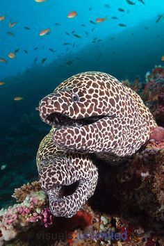 Pair of Honeycomb Moray Eels (Gymnothorax favagineus), North Male Atoll, Indian Ocean, Maldives