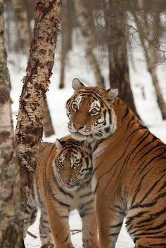 Amazing wildlife - Tigers photo #tigers
