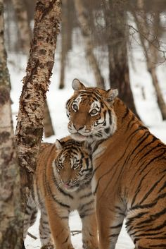 Two tigers together!