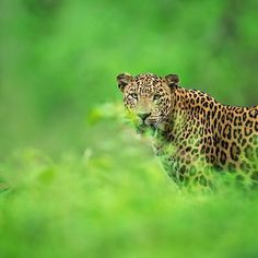 Tap image for travel information - Leopard encounters in India  Travel information below    Nagarahole National Park India.  Oct-May is best for wildlife.   @travelsiteindia to book a tour.  @mithunhphotography for more awesome photos!   # Search for similar experiences by hashtag - #earthoffline #indiaoffline #wildlifeoffline