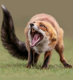 Photography by © (Arno van Zon). Photography by © (Arno van Zon). Angry fox… - Everything Fox 🐾 - so scary Defence. by Arno van Zon on What a Big Mouth! Angry Fox, Angry Animals, Animals And Pets, Funny Animals, Cute Animals, Wild Animals, Fuchs Baby, Foxes Photography, Anger Photography