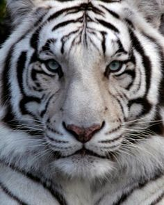 Siberian Tiger | , for instance, he was a Siberian Tiger. Tabbies and Sibertian Tigers ...