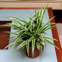 Chlorophytum comosum Ocean - 1 plant