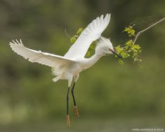 Snowy Egret in full breeding colors at High Island, Smith Oaks Rookery, Texas.