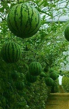 Fruit Plants, Fruit Garden, Edible Garden, Fruit Trees, Vegetable Garden, Fruit And Veg, Fruits And Veggies, Fresh Fruit, Vegetables