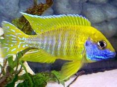 Aulonocara fire fish is a genus of haplochromine cichlids endemic to Lake Malawi in East Africa.