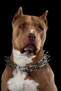 Бойцовские породы собак с фотографиями и описанием