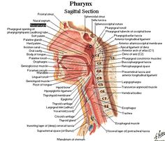 very detailed picture of the oral, pharyngeal, and laryngeal structures