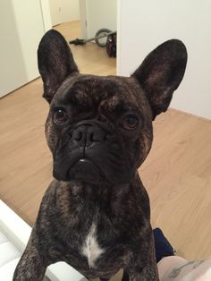 Hugo French Bulldog | Pawshake