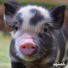 Miniature Pet Pigs – Why Are They Such Popular Pets? – Pets and Animals Cute Baby Pigs, Cute Piglets, Cute Baby Animals, Animals And Pets, Cute Funny Animals, Pet Pigs, Tiny Pigs, Pot Belly Pigs, Teacup Pigs