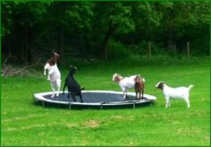 Nigerian dwarf goats playing on a trampoline