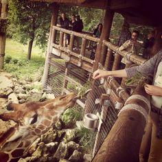 Feeding the giraffe #toocute #lovemyjob #jacksonillezoo #giraffe #zoo #animal
