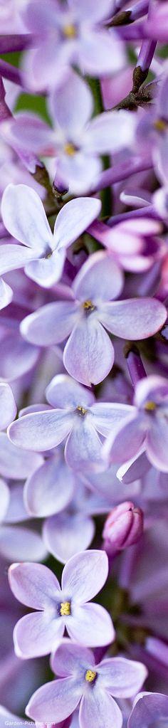 ...smell...ahhhhh lovely lilacs...