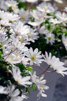 Buy wood anemone bulbs Anemone blanda 'White Splendour': Delivery by Crocus