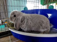 Holland Lop Color Guide with Photos - Ohio Holland Lops Indoor Rabbit, Holland Lop, Bunnies, Ohio, Photos, Animals, Color, Columbus Ohio, Pictures