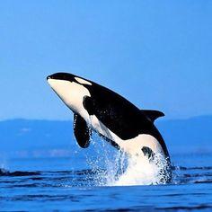 Beautiful Orca Whale!