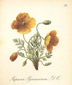 Papaver pyrenaicum, Die Alpenpflanzen nach der Natur gemalt | Biodiversity Heritage Library