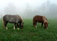 Miniature horses - for real