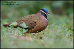Blue Headed Quail Dove -    (Starnoenas cyanocephala) It is endemic to Cuba. Status: ENDANGERED