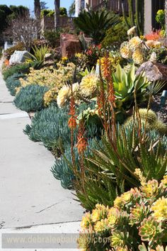 Streetside succulent garden. Design by Michael Buckner of The Plant Man nursery. Photo by Debra Lee Baldwin