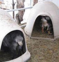 The Henry Milker: Alaskan Goat Igloos - Goat House.