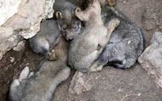 Mexican wolf pups in the wild.  Photo courtesy of the Mexican Wolf Interagency Field Team.