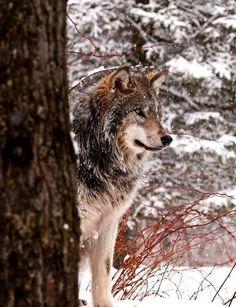 wolf !!