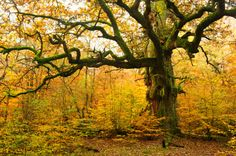 Old twisted tree in yellow woods