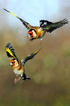 European Goldfinchs Chardonneret elegant