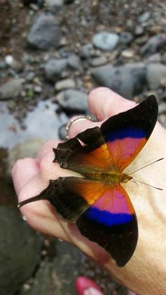 I love this butterfly. Butterfly Effect, Butterfly Kisses, Butterfly Wings, Rainbow Butterfly, Beautiful Bugs, Beautiful Butterflies, Beautiful Creatures, Animals Beautiful, Moth Caterpillar