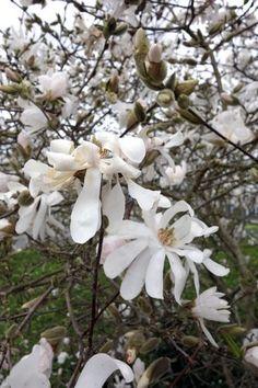 Le Magnolia stellata est une superbe variété de magnolias bien adaptée aux petits jardins