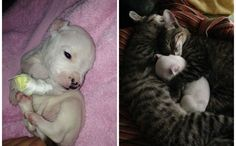 Pit Bull Puppy Gets Adopted By Snuggle-Cats -- people who think cats are without compassion really don't know cats.