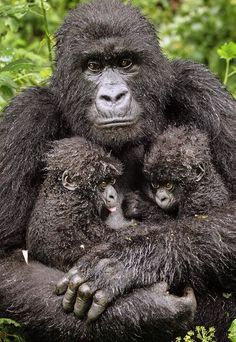 Mother gorilla carrying for her babies.