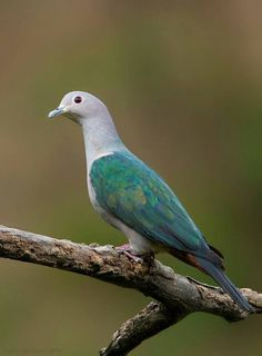 Imperial green dove - Javanese Joan