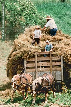 """Family Business"" All hands are needed to bring in the harvest. [photo by Bill Coleman; 1925-2014]"