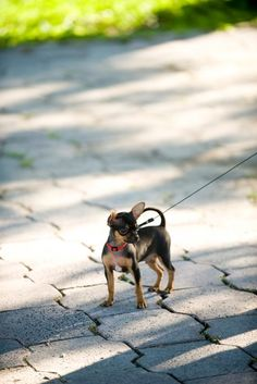 Although the little Chi in this photo is being walked wearing a collar, it is actually safer to use a harness instead. That's because many of the very small breeds like Chihuahuas and Yorkshire Terriers have delicate throats and are susceptible to collapsing tracheas.
