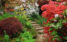 Scotney Castle Landscape Gardens, Kent, England | Flowering azaleas, ferns and acers bordering a path (4 of 16)