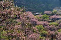 blossom in Moc Chau, Vietnam  http://pystravel.com