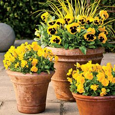 bright blooms of 'Ogon' golden sweet flag, 'Matrix Yellow Blotch' pansies, and 'Penny Clear Yellow' violas