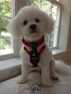 Fourth of July necktie. Super Cute Puppies, Cute Dogs, Bichon Dog, Lil Sweet, What Kind Of Dog, Teacup Puppies, Cute Funny Animals, Poodles, Puppys