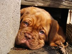 French mastiff puppy- My bro just got one of these and she is just the sweetest :)