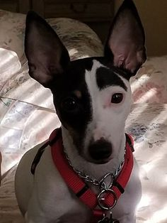 The Villages, FL - Rat Terrier. Meet Dexter a Dog for Adoption. Shelter Dogs, Rescue Dogs, Animal Rescue, Beautiful Dogs, Animals Beautiful, Cute Animals, Toy Fox Terriers, Dog Art, Pet Adoption